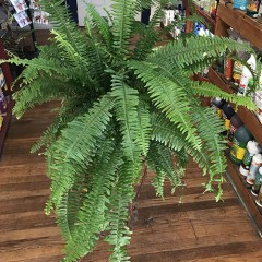 Indoor Fern Plant Care