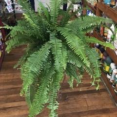 Indoor Fern Plant Care