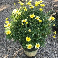 Marguerite plants
