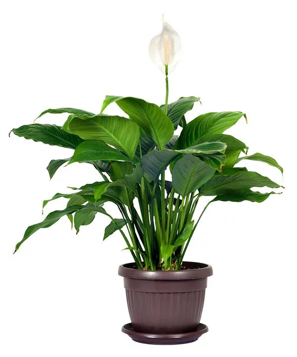 Peace Lily in Pot