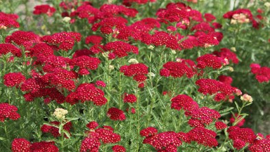 Red Yarrow Pictures Landscape