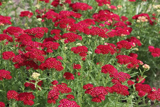 Yarrow Plants