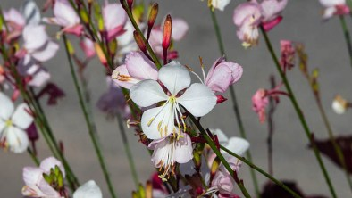 Gaura Plant Care