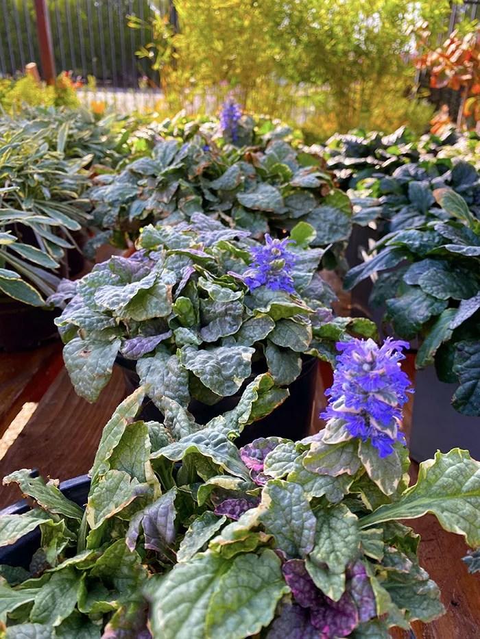 Ajuga Reptans Plants