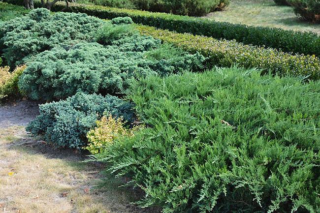 Juniper Plants