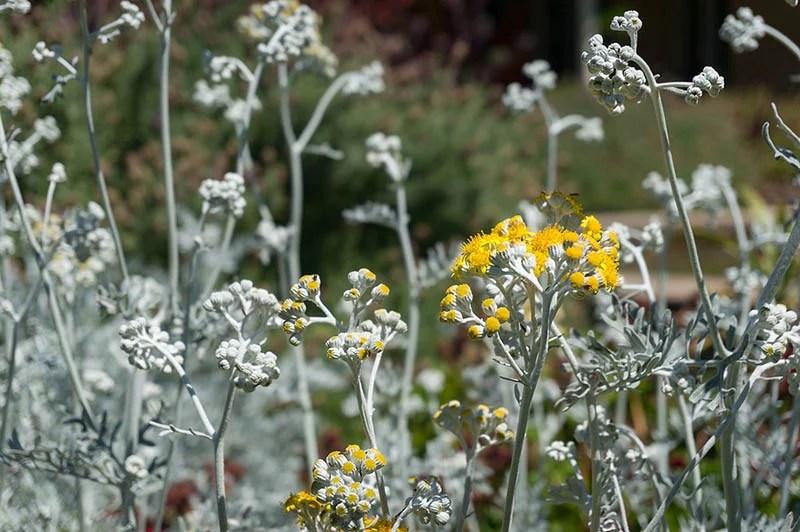 Dusty Miller Plant Flower