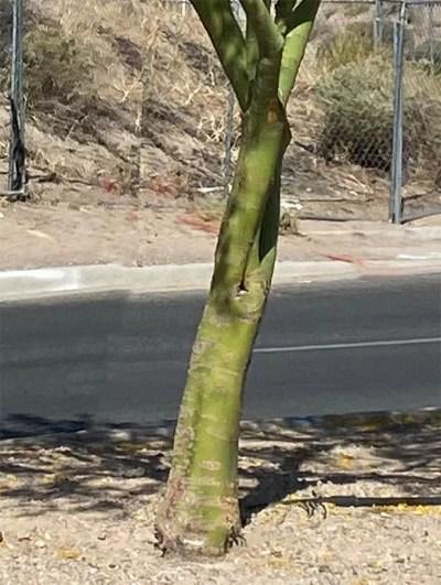 The Palo Verde Tree