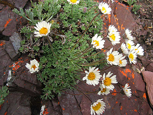 Dwarf Mountain Fleabane