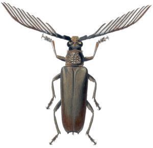 Wallace's Cyriopalus beetle