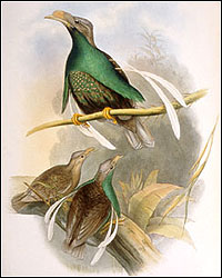 Wallace's Standard wing Bird of Paradise