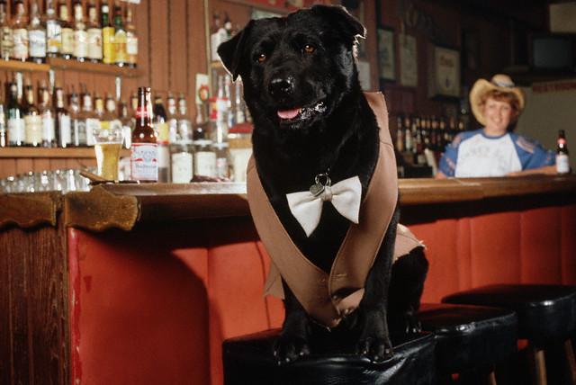 Bosco the Dog Mayor of Sunol