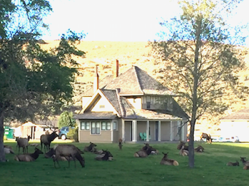 Elk hanging out in Mammoth Hot Springs, Wyoming