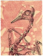 Pigeon skeleton