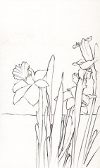 Daffodil studies 1