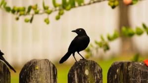 Black Bird!