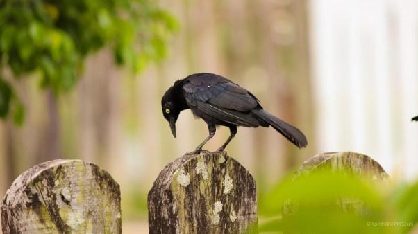 Black bird limin'