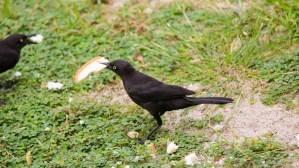 Black bird eating bread!