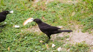 Black bird eating bread!