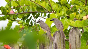 Two brown birds anticipating their next move.