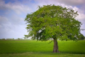 Tamarind tree in the field