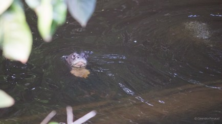 Otter in the creek