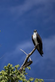Osprey sitting watching us...