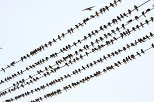 Svaler på snor   © Péter Gudella   Dreamstime.com