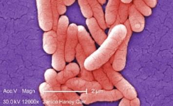 Salmonella_bakterier