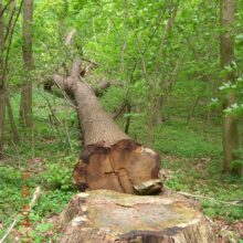 eg fældet Sonnerup skov