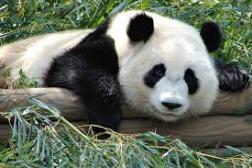 Panda_Wikipedia