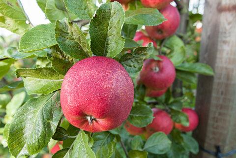 æble_prosulfocarb