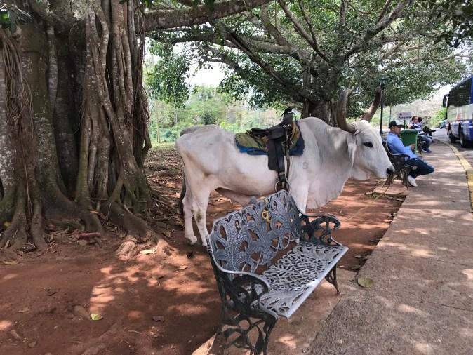 bull with sadle
