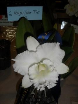 C. Kaye Star T'nt (Gympie Plant)