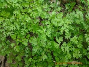 A tavaszi salátagyógynövények sorát gazdagító turbolya virágzás előtt
