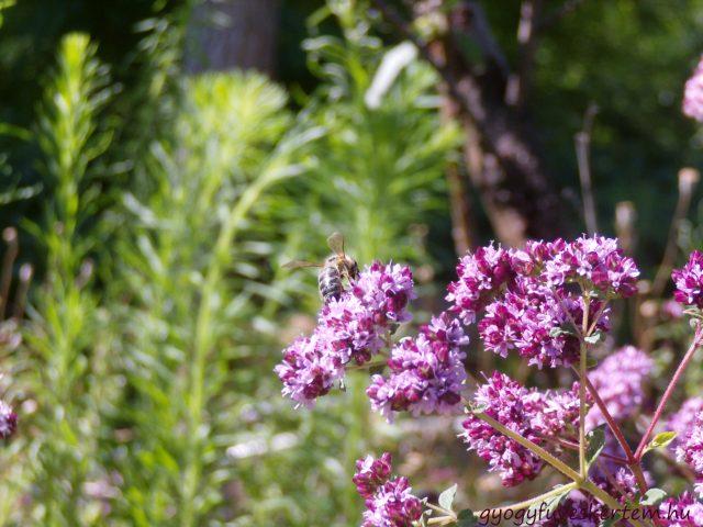 gyógyfüves kertem, szurokfű, gyógynövénykert