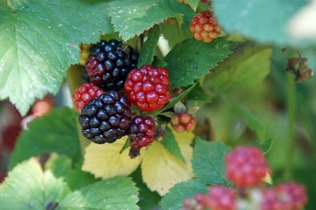 fekete szeder termése és levele