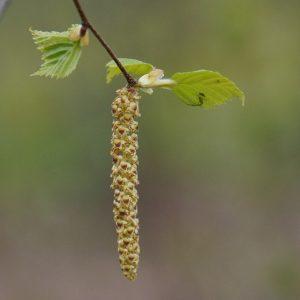 nyírfa levele és virága