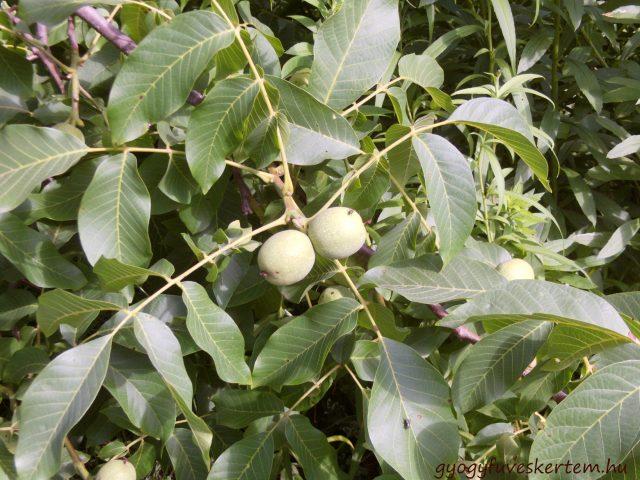 közönöséges dió, levél, termés, gyógyfüves kertem