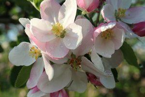 almavirág