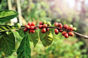 Kávécserje, kávé, koffein