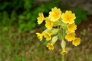 kankalinvirág, tavaszi kankalin virága