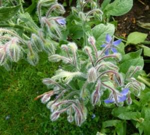 borágó növény