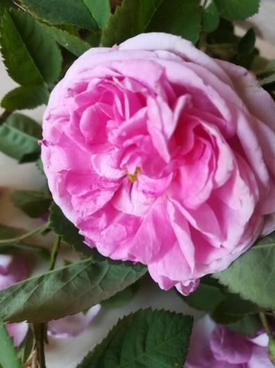 rózsa virága