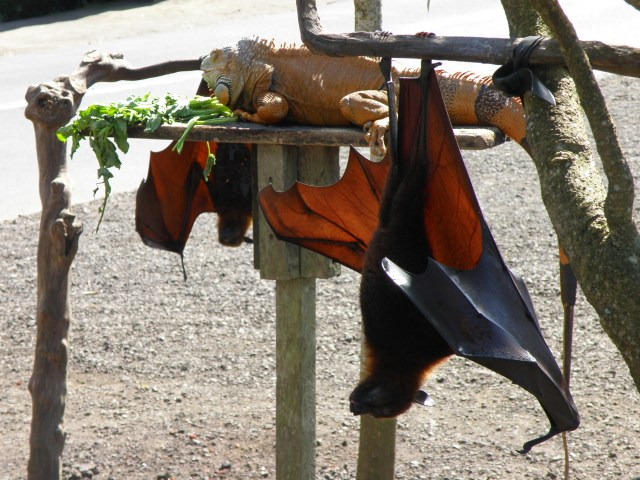 giant fruit bat bali
