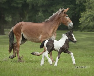 Mule Mom and Gypsy Vanner Foal
