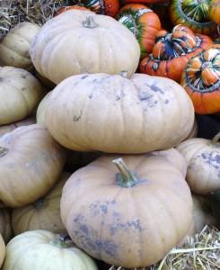 Long Island Cheese pumpkins 2 web