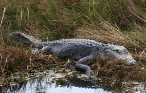 Another big gator
