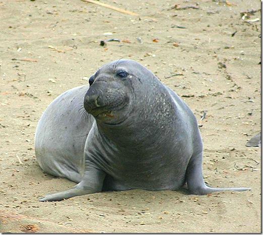 Elephant seal alone