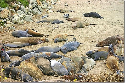Elephant seal crowd 4