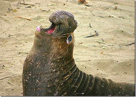 Elephant seal mouth open 4